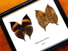 Real Kallima Inachus From China Framed - Dead Leaf Mimic- Taxidermy - Home Decoration - Collectibes