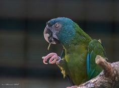 Ara testa blu - Blue-headed Macaw -Propyrrhura couloni
