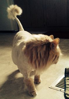 Persian Cat Haircut Shaved my cat to look like a lion Crazy Cat Lady, Crazy Cats, Shaved Cat, Cat Haircut, Cat Shots, Cat Toilet Training, Pekingese Dogs, Cat Harness, Cat Pose
