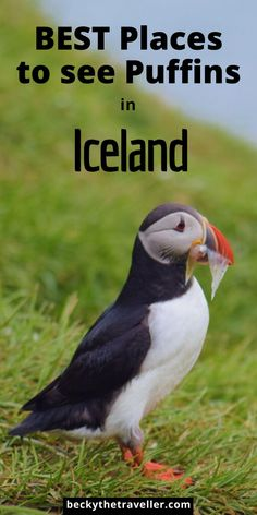 BEST Place to see Puffins in Iceland - Want to see puffins on your Iceland trip? Read here for the best place to see them on this amazing island. Love birdwatching then you're in for a treat with the hundreds of puffins you can see in Iceland Guide To Iceland, Iceland Travel Tips, Landscape Photography Tips, Scenic Photography, Aerial Photography, Night Photography, Landscape Photos, Animal Experiences, Road Trip Hacks