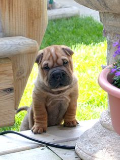 soft wrinkles and sharp claws! soft wrinkles and sharp claws! Wrinkly Dog, Sharpei Dog, Bulldog Puppies, Dogs And Puppies, Cachorros Shar Pei, Pet Dogs, Dog Cat, Doggies, Baby Animals
