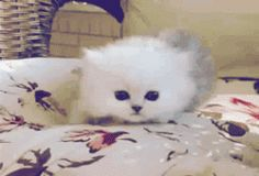I love cat gifs and dog gifs. Funny Cats, Cute Cats, all the time. Baby Kittens, Kittens Cutest, Cats And Kittens, Baby Animals, Funny Animals, Cute Animals, Funny Cat Videos, Funny Cats, Cat Empire
