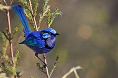 Fairy wrens #2 - a gallery on Flickr