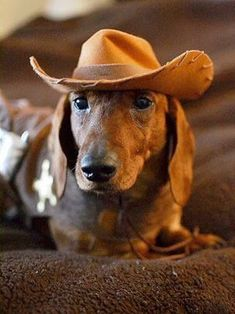Dachshund Products, Apparel and Gifts Dachshund Funny, Dachshund Puppies, Weenie Dogs, Dachshund Love, Dogs And Puppies, Daschund, Dapple Dachshund, Chihuahua Dogs, Baby Dogs