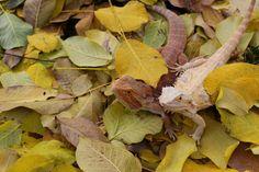 Spyro and Saphira. Bearded Dragons playing in the leaves. Bearded Dragon, Dragons, Leaves, Animals, Animales, Animaux, Animal, Animais, Kites
