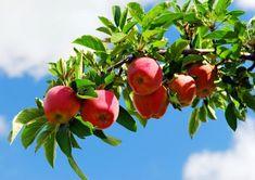 Apple, Fruit, Apple Fruit, Apples