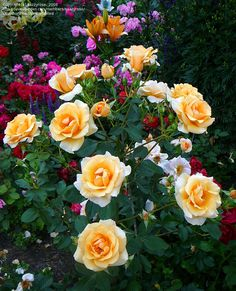 """Shrub Rose 'Golden Unicorn'   """"The late Griffith Buck of Iowa State developed 'Golden Unicorn' and other shrub roses to survive the Midwest's severe winters. They also stand up to  extreme heat."""