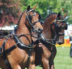 Draft horse pair