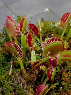 Waiting Venus Fly Traps by blmurch, via Flickr