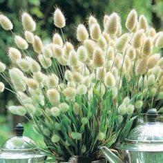 Bunny tails - ornamental grass ... Oh, how my mom used to LOVE these! ♥