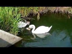 Лебединая семья в орнитологическом парке, Сочи, Адлер