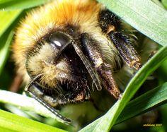 Bumblebee - Bourdon (close-up - gros plan)