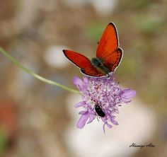 Kırmızı  Ateş Kelebeği