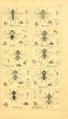 T. 7 - Systematische Beschreibung der bekannten europäischen zweiflügeligen Insekten / - Biodiversity Heritage Library