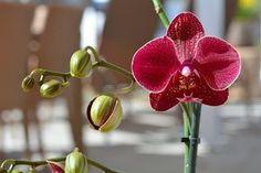 Miért nem virágzik az orchidea? Ezt kell tenned, hogy újra virágba boruljon! Ikebana, Indoor Plants, Orchids, Diy And Crafts, Bonsai, Gardening, Gardens, Bonsai Trees, Garten