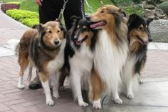 I miss Laddie A LOT! I will be getting a collie again the next go round...