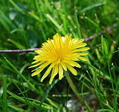Dandelions are one of several options in natural treatment of chronic kidney disease