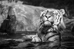 Amur tiger by Vladimir Sichinsky - Photo 136412127 - 500px