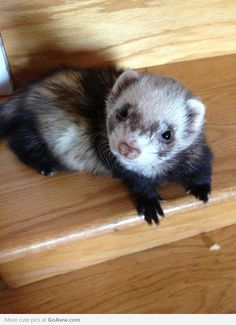 Looks like my ferret KU KU KU