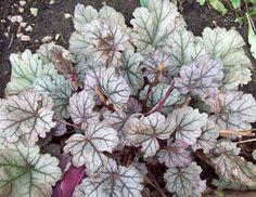 Heuchera Silver Blush, Jan 17. http://www.mandycanudigit.co.uk/#!drive-revamp-14/c1clq
