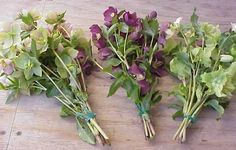 green and purple Hellebores Types Of Flowers, Green Flowers, Love Flowers, Wedding Flowers, Flower Identification, Petal Pushers, Green And Purple, Tulips, Planting Flowers