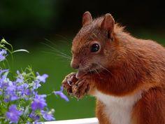 Animales, Ardilla, Comer, Visible La Lengua