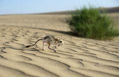 Тушканчики (фото): Резвые прыгуны с длинными хвостами Смотри больше http://kot-pes.com/tushkanchiki-foto/