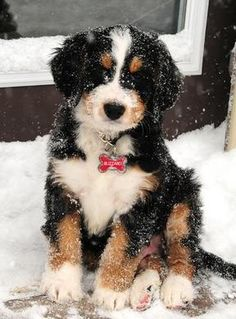 Bernedoodle puppy in the snow
