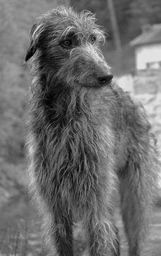 My scottish deerhound Nanou.
