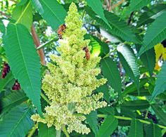 STAGHORN SUMAC: (Rhus typhina). Photographed June 13, 2016 in Center Twp., Beaver County, PA.