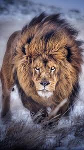 Résultats de recherche d'images pour «lion wallpaper tumblr»