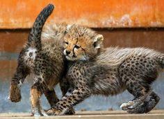 德国 Germany 罗斯托克动物园 Rostock Zoo,2只6个星期大的 猎豹 Cheetah 幼崽正在玩耍。这两只猎豹幼崽出生于今年4月28日,这是它们第一次在公众前亮相。摄影师:Jens Btner