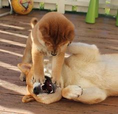 lil shibe, what you do?