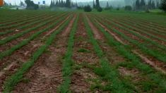 Lines of green crops in a field in Israel. Stock Video, Farming, Israel, Fields, Stock Photos, Green