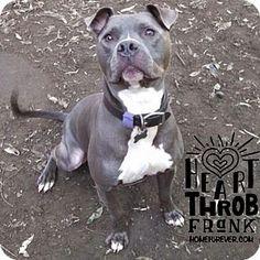 "Detroit, MI - American Pit Bull Terrier/American Staffordshire Terrier Mix. Meet Frank Sinatra ""FRANK"", a dog for adoption. http://www.adoptapet.com/pet/6471997-detroit-michigan-american-pit-bull-terrier-mix"