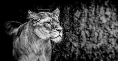 Golden Lioness BW by Luke Butler on 500px