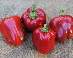 Jupiter Pepper. 75 days. (green > red) One of the largest and best sweet bell peppers. Sturdy 3-5 ft. plants have an excellent canopy of dark green leaves to protect the high yields of 4 in. fruits. Excellent drought resistance. Great for stuffing.