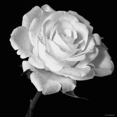 I see this rose as something fragile that needs care and that's exactly how Jem was after the Tom Robinson case White Roses, White Flowers, Shades Of White, Black And White, Plant Images, Language Of Flowers, White Clouds, All Flowers, Beautiful Roses