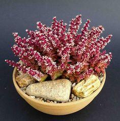 Crassula capitella ssp. thyrsifolia