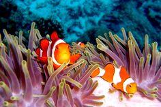 Top1Walls: Animals clownfish coral reef fish underwater desktop ...