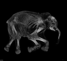 A CT scan of Young Mammoth.