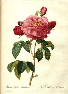 Antique Vintage Pink Rose