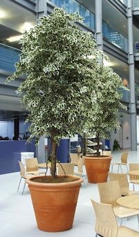 Large Artificial Ficus Trees Outdoor Trees, Outdoor Plants, Artificial Plants And Trees, Ficus Tree, Go Green, Backyards, Palm Trees, Bamboo, Palm Plants
