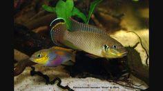 pelvicachromis taeniatus wouri