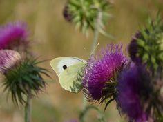 Papillon * Rennes