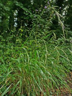 Brachypodium sylvaticum habitat