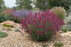 1000 images about plants that grow in sw colorado on for Hearty ornamental grasses