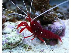 Marine Cleaner Shrimp Fire Shrimp Stoke-on-Trent Picture 2