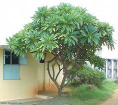 [Plumeria+tree-+1.JPG]