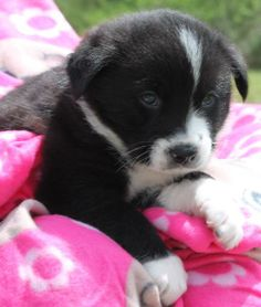 Cecily is a 6-week-old female Black Lab mix. She is black with white markings that include a small white streak on her adorable little head. Cecily also has white on her chest and around her nose. Her soft coat is short and just beautiful. Cecily is...